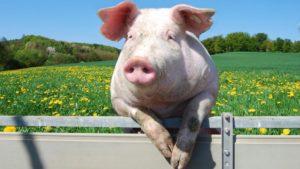Год свиньи как пройдет