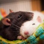 Крыса Крыса совместимость в постели