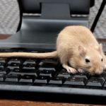 Крыса и крыса совместимость в работе