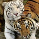 Тигр и тигр: совместимость в браке