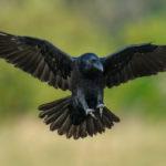 карканье вороны и погода