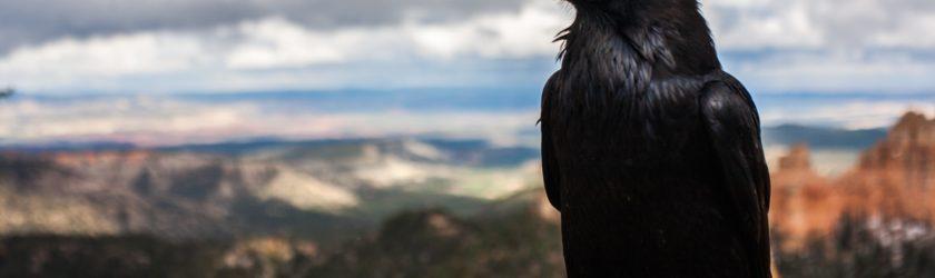 Каркает ворона приметы